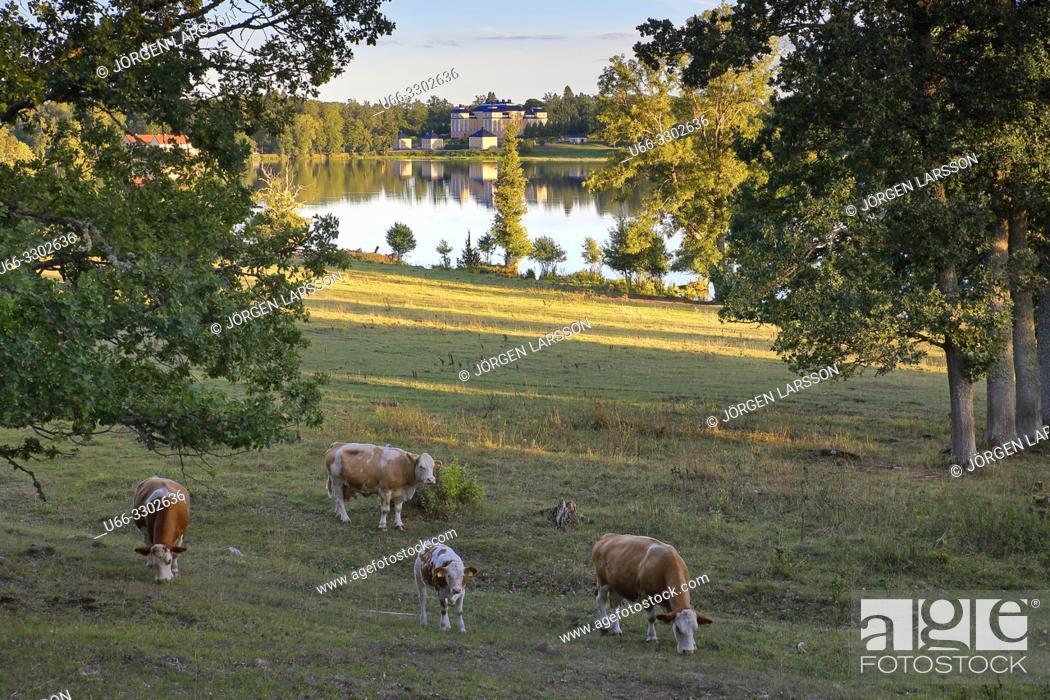 Stock Photo: Cows, Ericsberg, Sodermanland, Sweden.