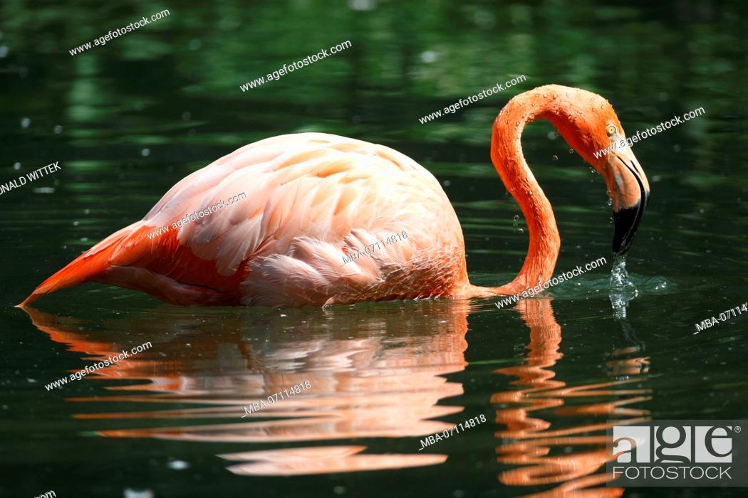 Stock Photo: American flamingo, (Phoenicopterus ruber), captive, water.