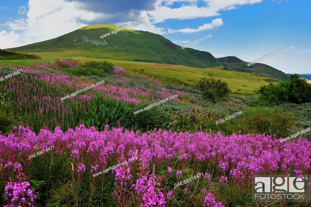 Stock Photo: Flower-filled meadow near Besse-et-Saint-Anastaise, Auvergne volcanoes region , Auvergne-Rhone-Alpes, France.