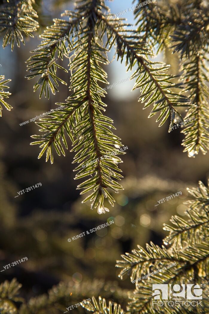 Stock Photo: Frost covered dew drops are glittering on fir twigs on an autumn morning. Västernorrland, Sweden.