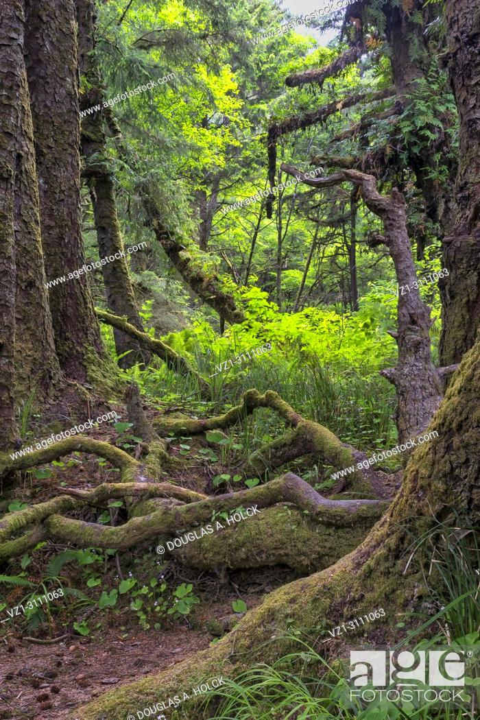 Stock Photo: Gnarly limbs and bare roots in Fern Canyon forest, Prarie Creek Redwoods State Park, California, USA.