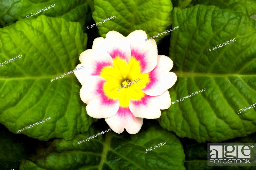 Imagen: Primrose, Primula 'Delia mix', Overhead graphic view of one cream flower with a pink ring and yellow middle, positioned in the centre surrounded by a neat.