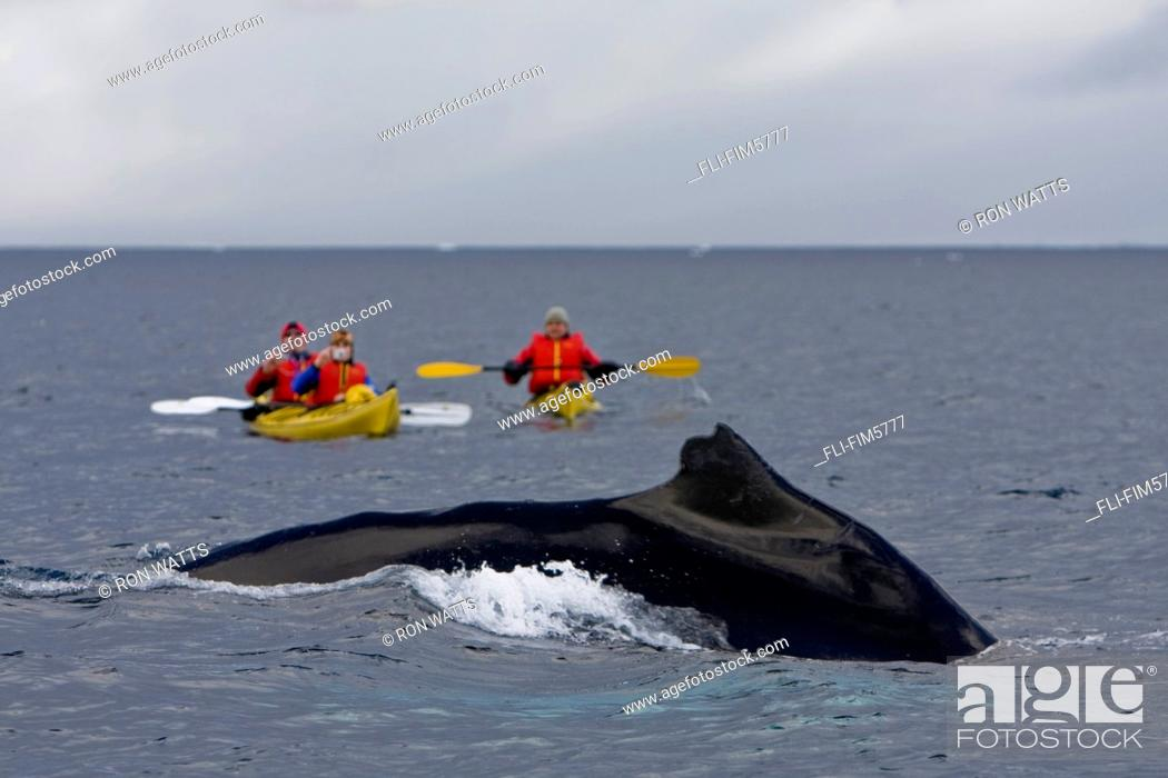 Stock Photo: A Humpback Whale Surfaces in front of Kayakers, Errera Channel, Antarctic Archipelago.