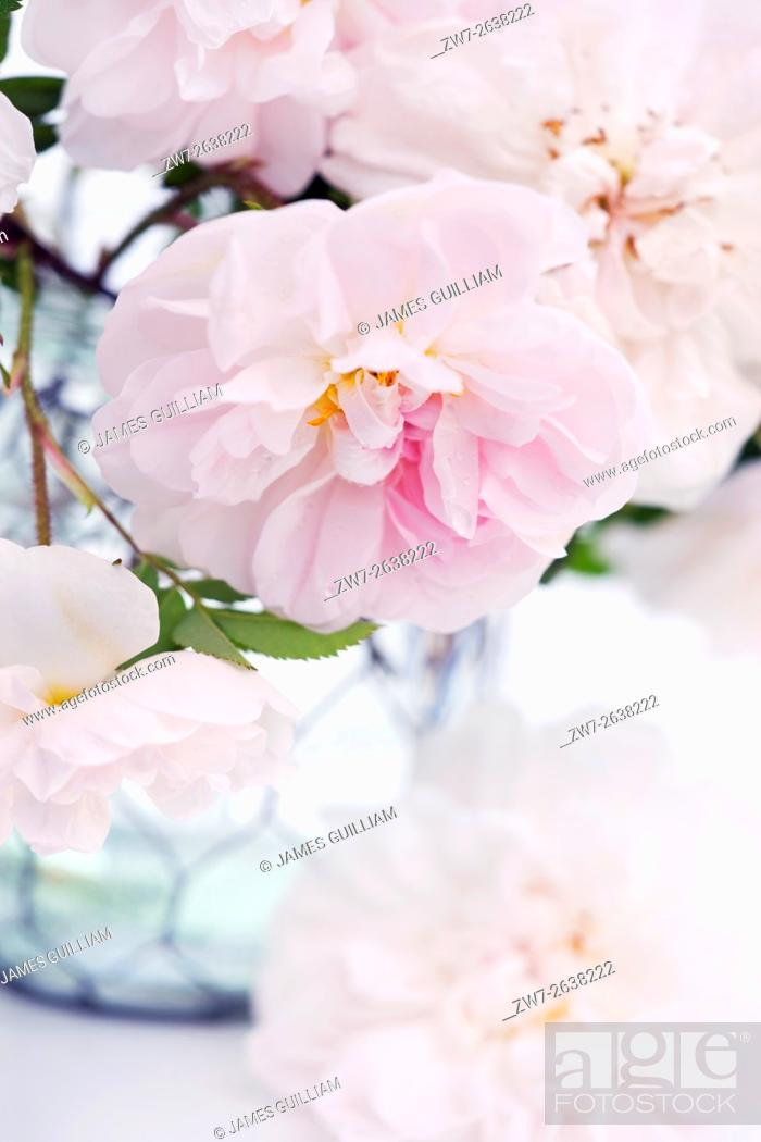 Pale Pink Coloured Rose Flowers From The Garden In A Glass Vase