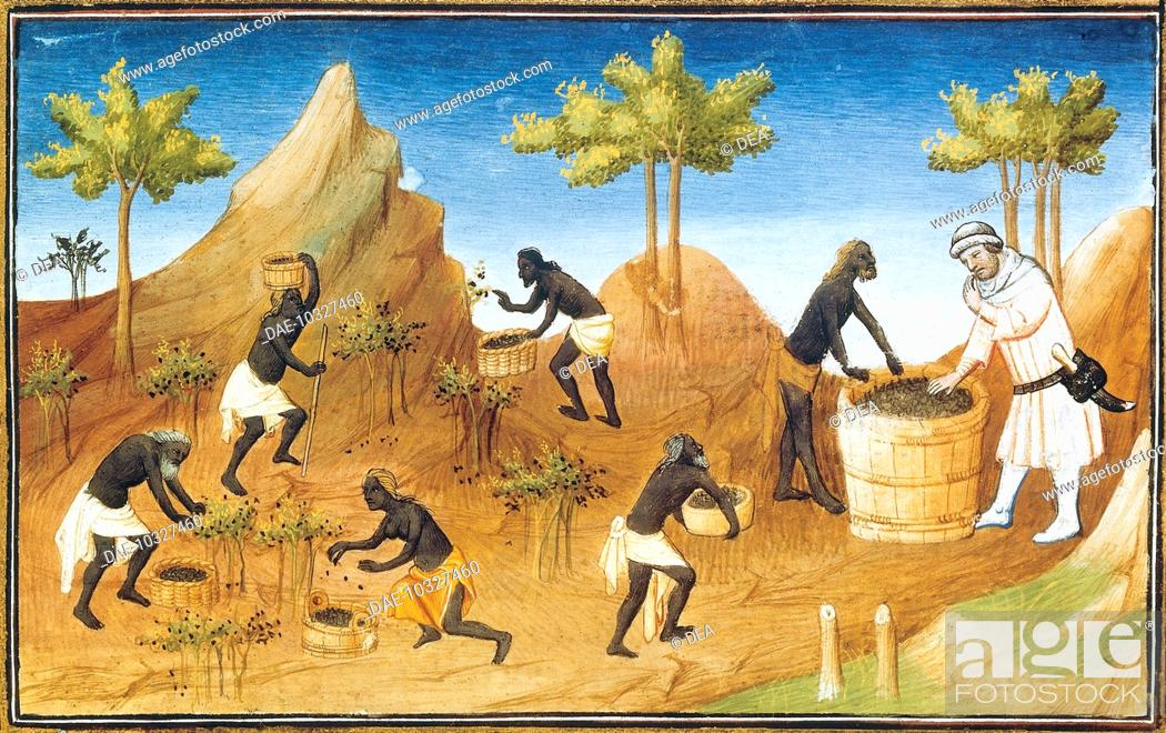 Stock Photo: Harvesting pepper, miniature from Livre des merveilles du monde (Book of the Wonders of the World) by Marco Polo and Rustichello, France 15th Century.
