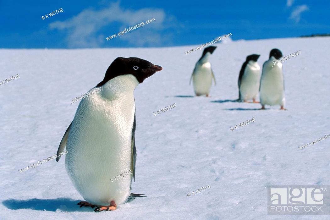 Stock Photo: adelie penguin Pygoscelis adeliae, in snow, Antarctica.