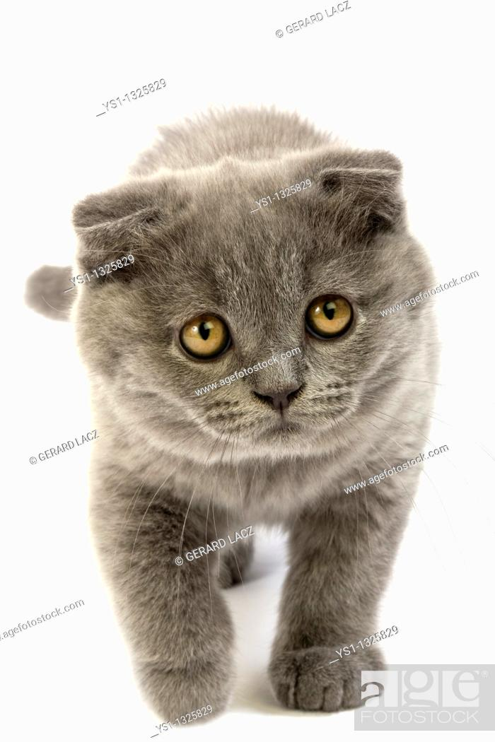 Stock Photo: BLUE SCOTTISH FOLD CAT, 2 MONTHS OLD KITTEN AGAINST WHITE BACKGROUND.