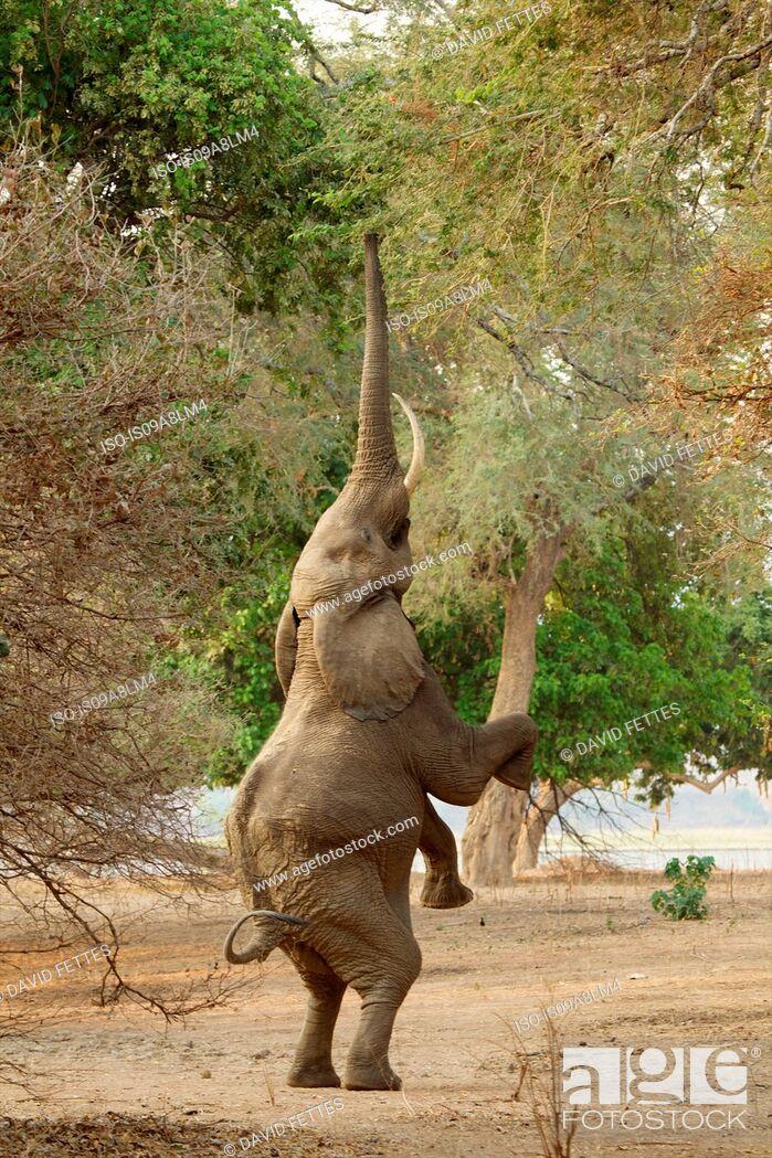 Stock Photo: Elephant standing on hind legs, Mana Pools National Park, Zimbabwe, Africa.