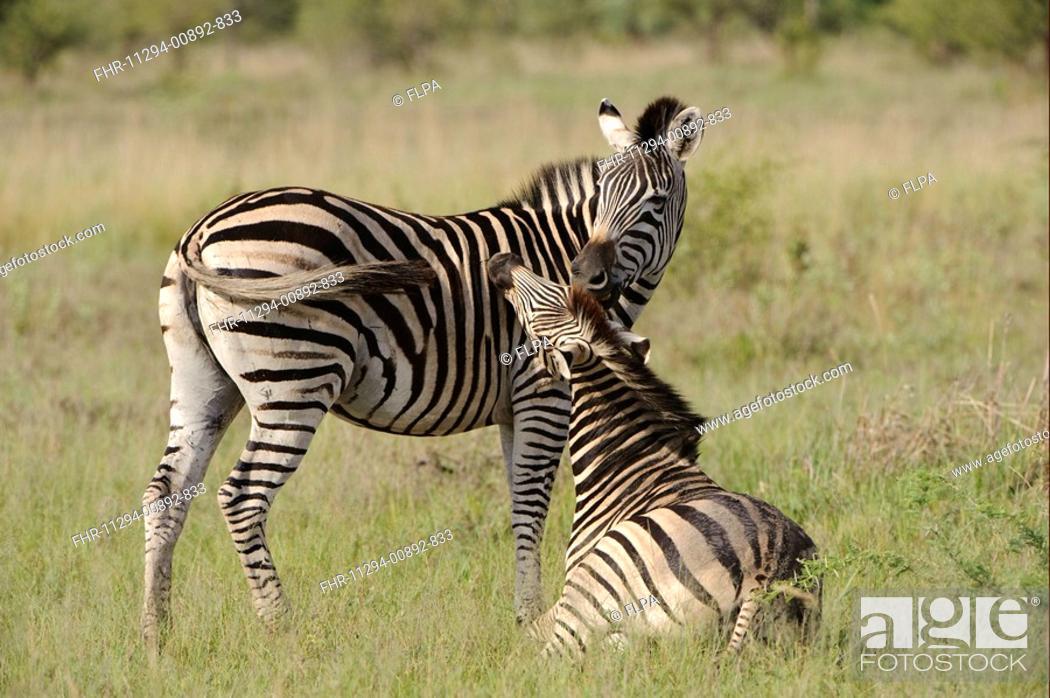 Stock Photo: Burchell's Zebra Equus quagga burchellii mare and foal, mutual grooming, Kwando Lagoon, Linyanti, Botswana.