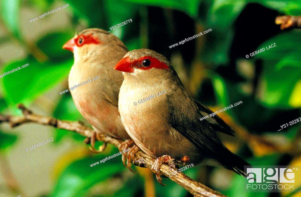 Stock Photo: Black-Rumpted Waxbillor Red9Eared Waxbill, estrilda troglodytes, Adults standing on Branch.