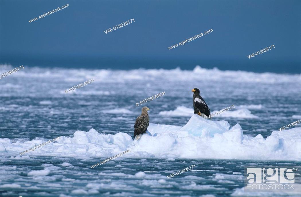 Stock Photo: Eagle.