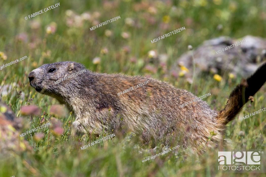 Stock Photo: Nature - Fauna - Marmot - Marmot in the natural regional park of Queyras.
