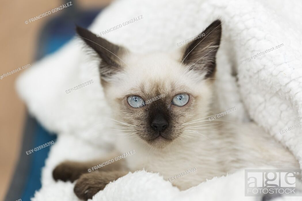 Imagen: Close-up of a siames kitten on a white blanket.