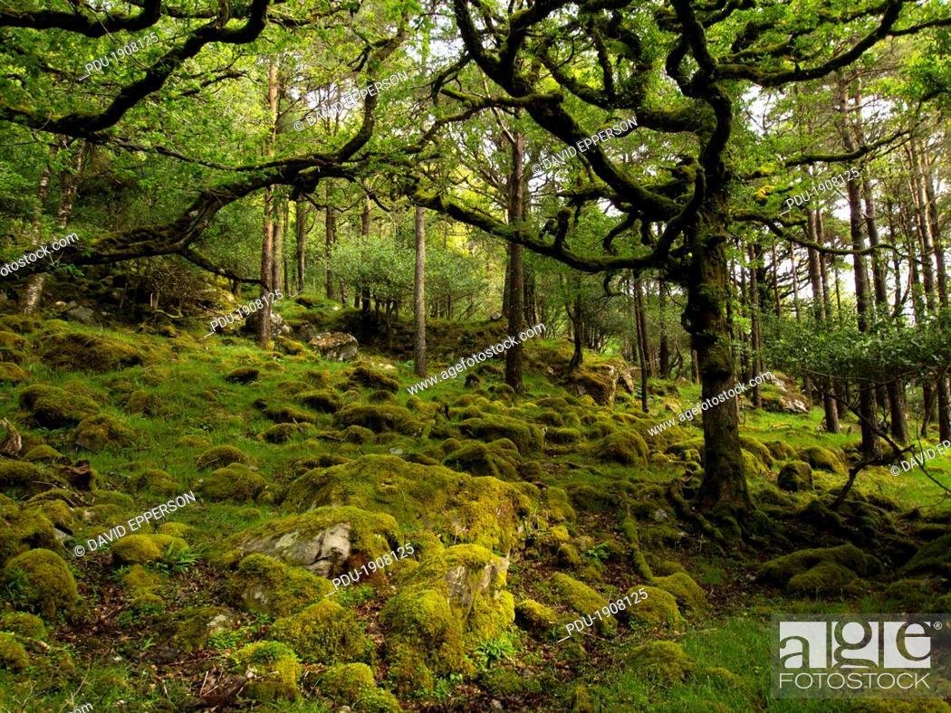 Stock Photo: old growth Oak trees in Killarney National Park.