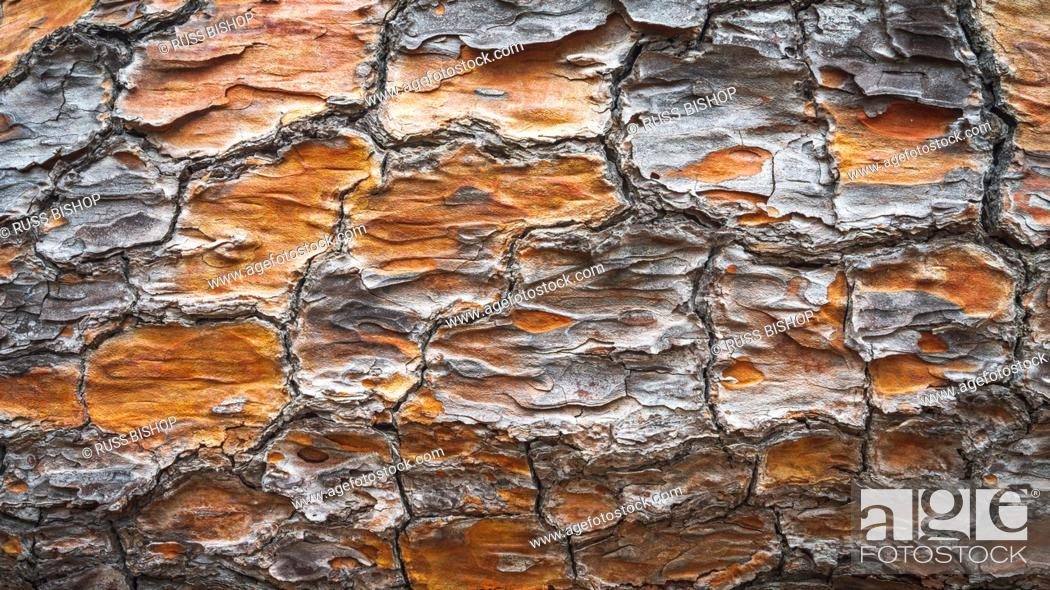 Imagen: Detail of Torrey Pine bark, Santa Rosa Island, Channel Islands National Park, California USA.