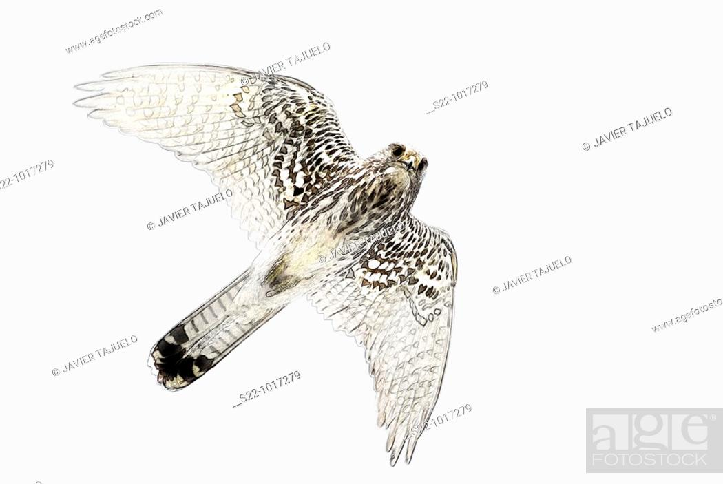 Stock Photo: Common Kestrel, Falco tinnunculus.