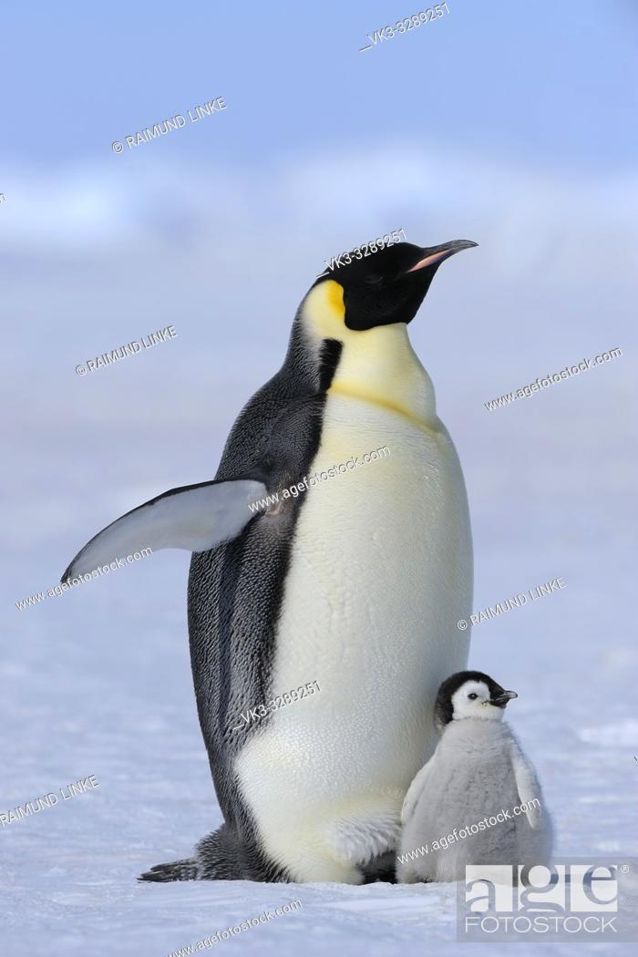 Stock Photo: Emperor penguins, Aptenodytes forsteri, with a Chick, Snow Hill Island, Antartic Peninsula, Antarctica.