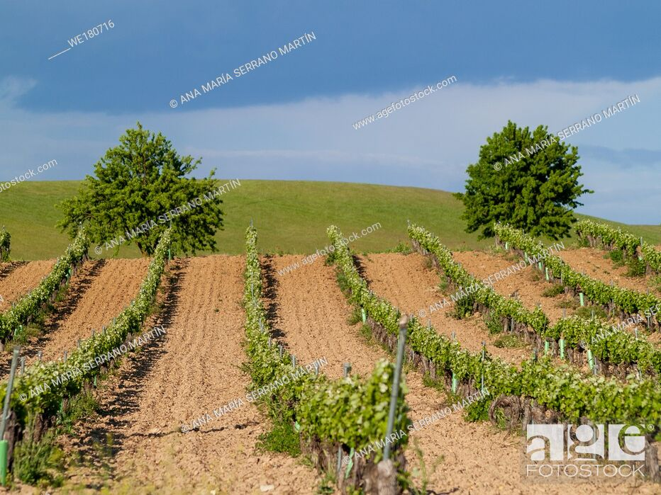 Photo de stock: A landscape of rural culture in espalier vineyard in spring in the denomination of origin Ribera del Duero in Spain.