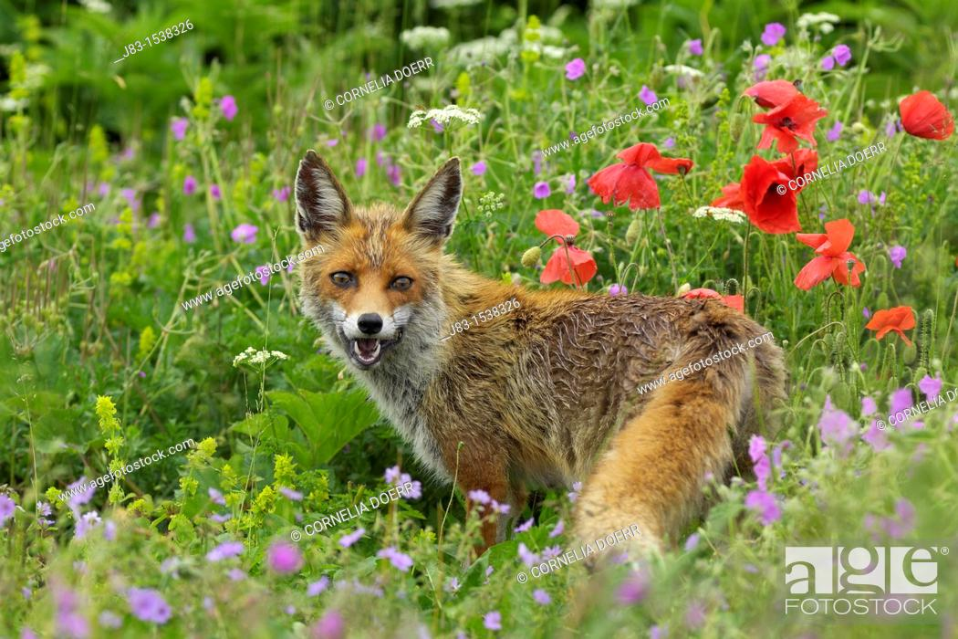 Stock Photo: Red Fox in flowering meadow with poppies, Vulpes vulpes, Monti Sibillini National Park, Umbria, Italy.