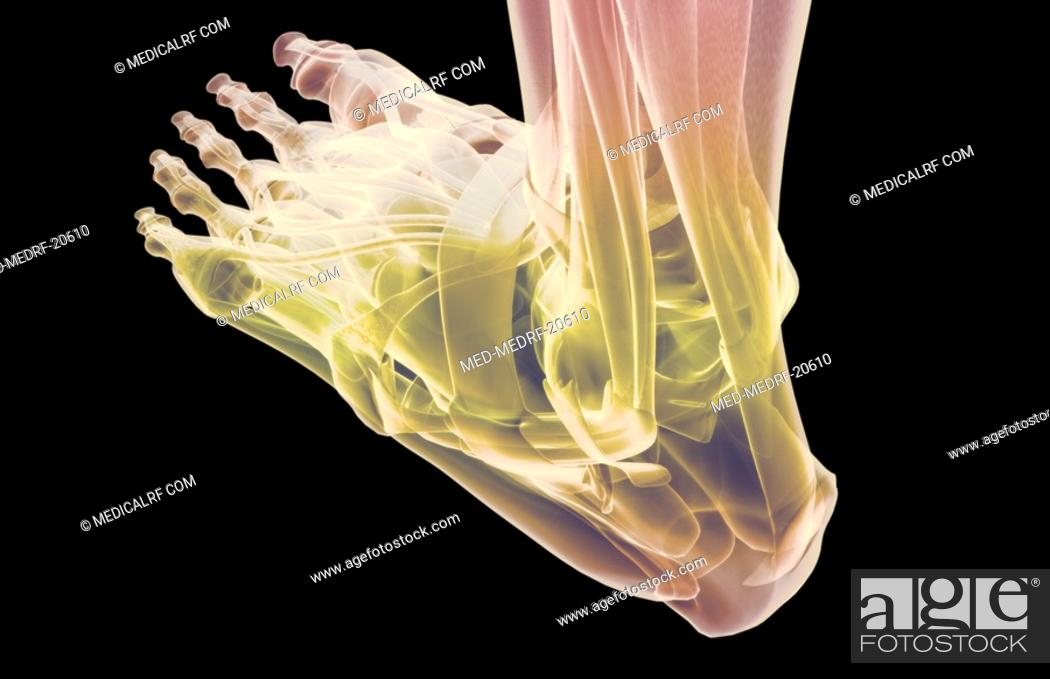 Stock Photo: The muscles of the foot.