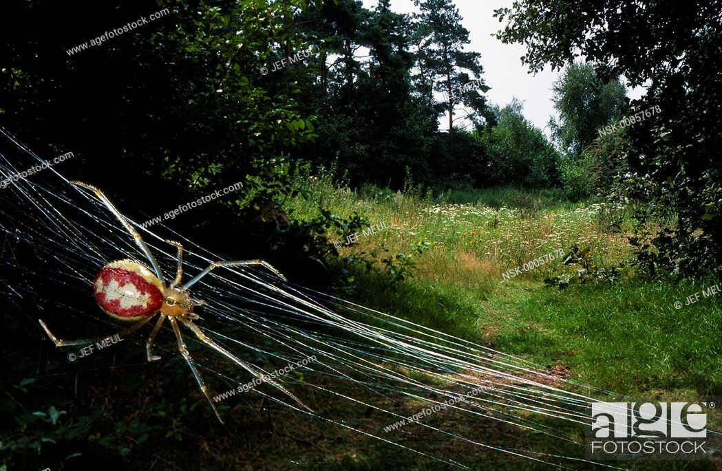 Imagen: Cobweb Spider (Theridion sp.) in its web in landscape, Belgium.