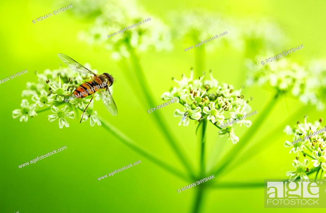 Stock Photo: Wild Dill (Perideridia americana). Close up view.