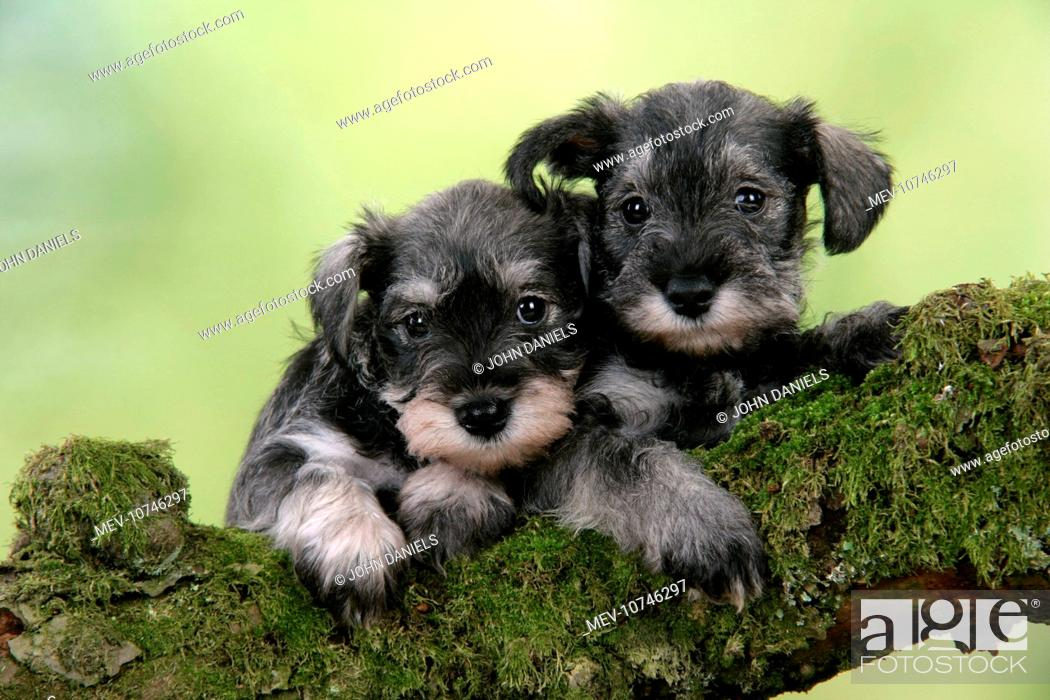 Dog Miniature Schnauzer Puppies 6 Weeks Old On A Mossy Log Stock Photo Picture And Rights Managed Image Pic Mev 10746297 Agefotostock