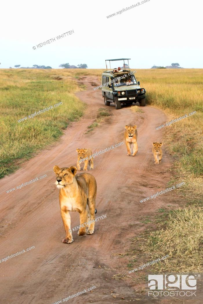 Imagen: Lionesses (Panthera leo) with young cubs walk on dirt road in front of tourists in safari vehicle, Serengeti National Park; Tanzania.
