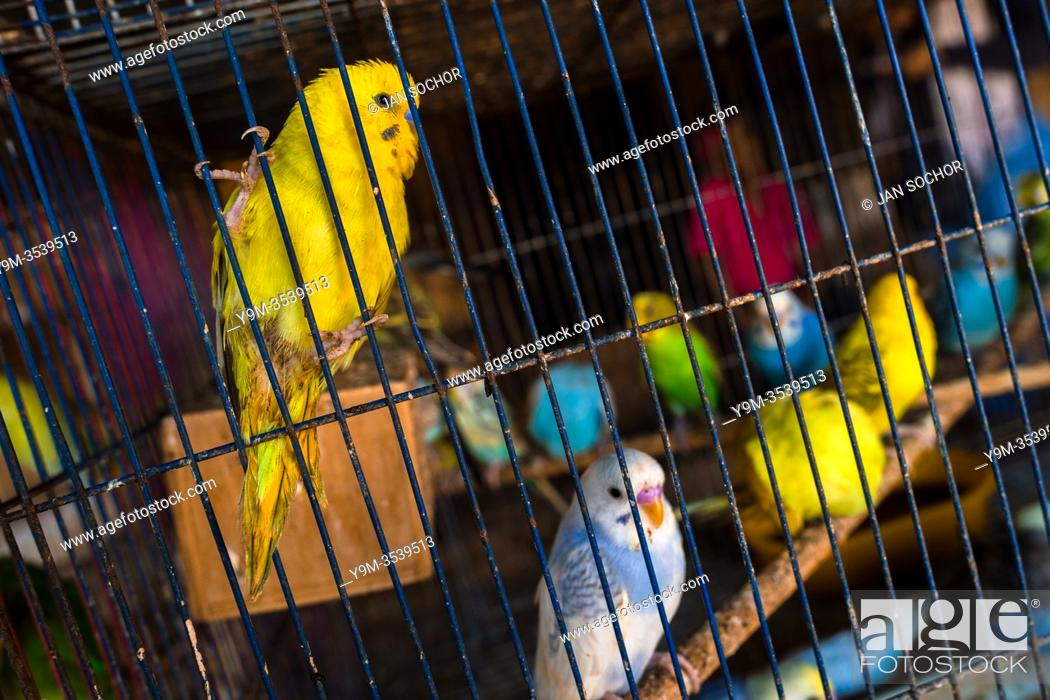 Stock Photo: Pet birds (budgerigar parrots) are seen inside a birdcage in the bird market in Barranquilla, Colombia, 9 December 2018. Keeping caged birds in houses.