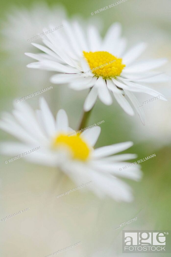 Stock Photo: Daisy (Bellis perennis). Westray, Orkney Islands, Scotland.