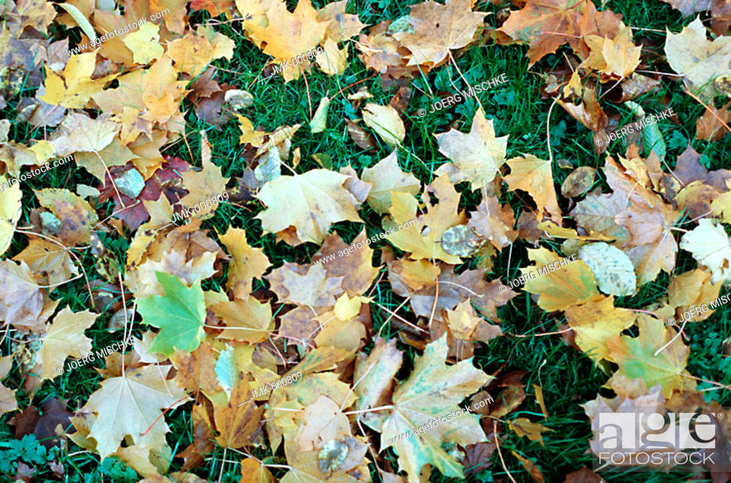 Stock Photo: Coloured leaves in autumn, lying on the lawn, meadow.