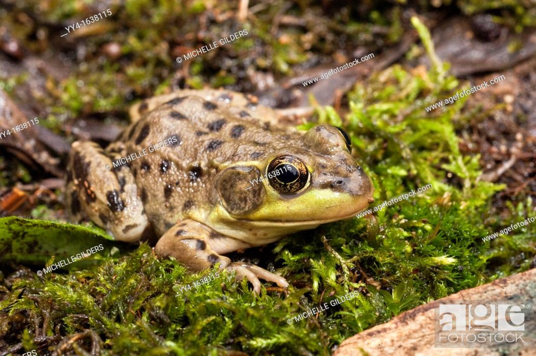 Stock Photo: The mink frog, Rana septentrionalis, is a small frog native to the United States and Canada.