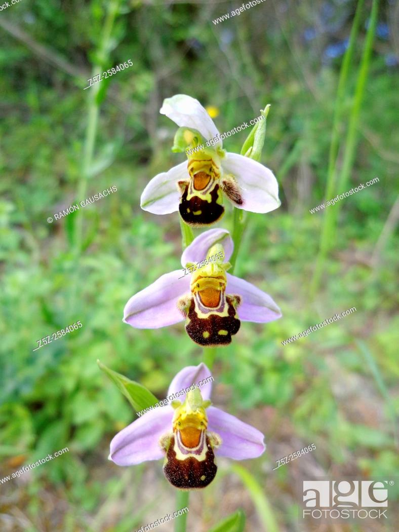Imagen: Bee Orchid (Ophrys apifera).