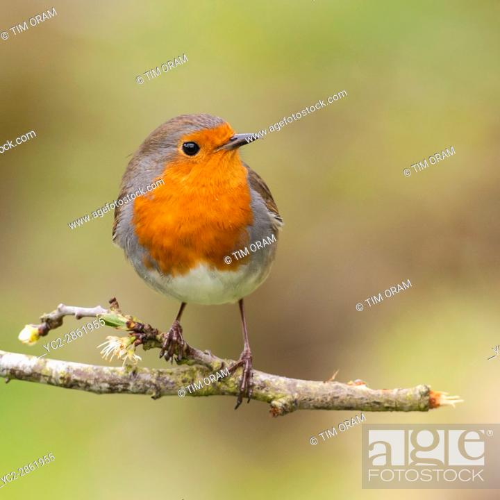 Stock Photo: A Robin on a tree (Erithacus rubecula) in the uk.