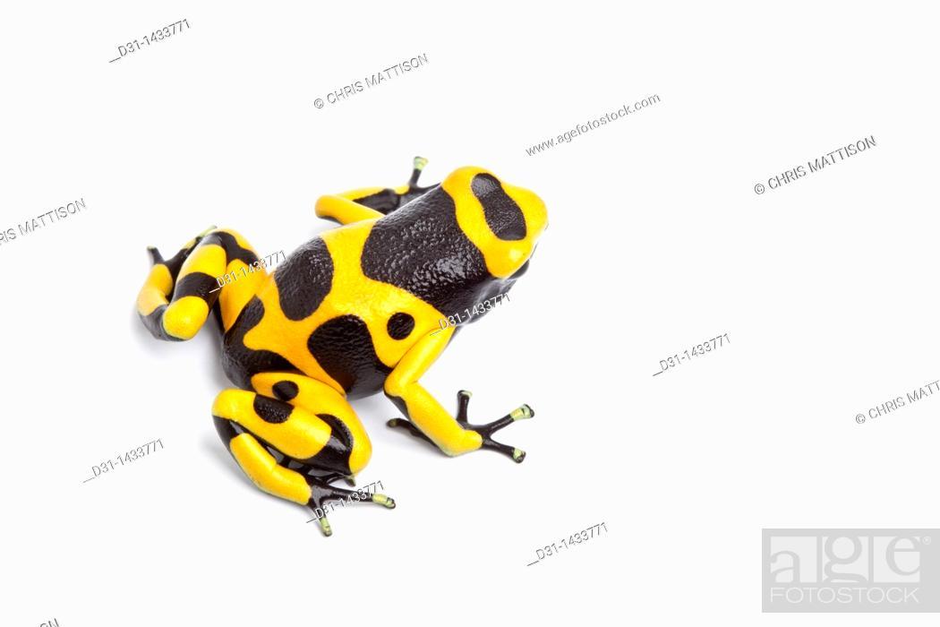 Stock Photo: Yellow and black poison dart frog (Dendrobates leucomelas) on white background.