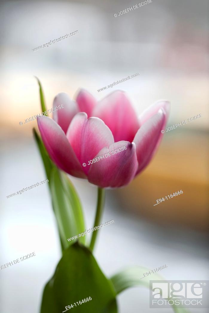Stock Photo: A single pink tulip in a vase on a table in a restaurant.