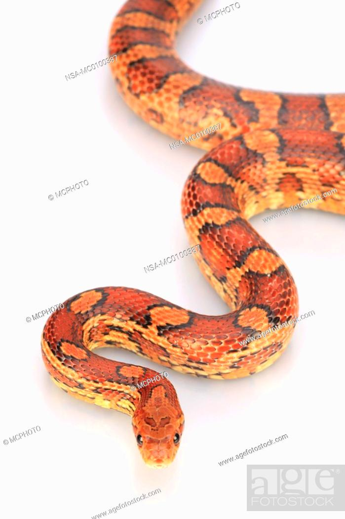 Elaphe guttata, corn snake, Stock Photo, Picture And Rights