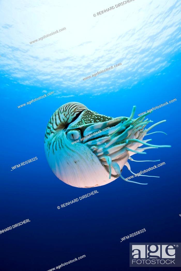 Stock Photo: Nautilus, Nautilus pompilius, Great Barrier Reef, Australia.