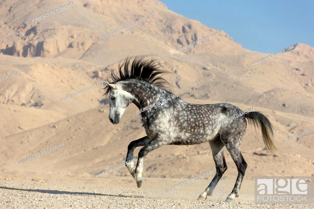 Purebred Arabian Horse Grey Stallion Showing Off In The Desert Egypt Stock Photo Picture And Rights Managed Image Pic Ssj H 81081681 Agefotostock