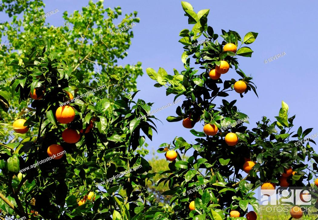 Stock Photo: mandarine tree.