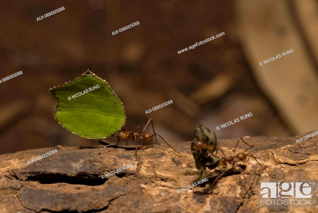 Stock Photo: Leaf-cutter ants - Tortuguero.