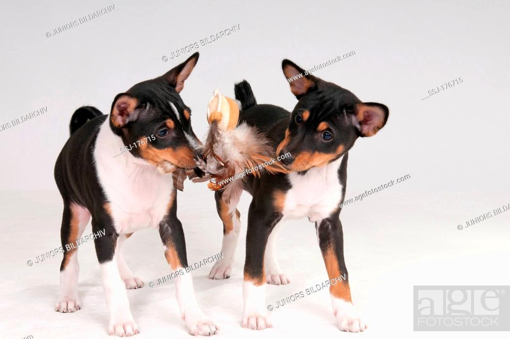 Basenji Two Puppies 9 Weeks Old Playing With Feathery Toy