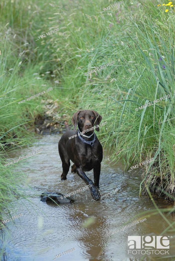Stock Photo: Braco German hunting in water, German race sample hunting pointer type.