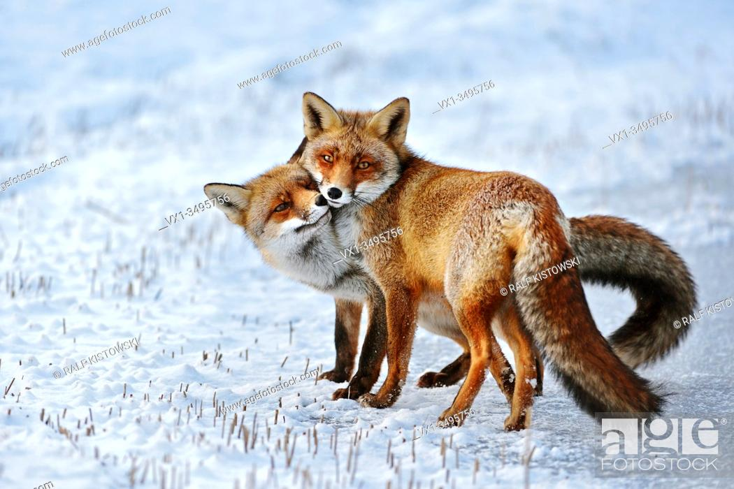 Stock Photo: Red Fox ( Vulpes vulpes ), Red Foxes in love, caressing, tenderness, cute emotional behaviour, pair of foxes in winter, snow, wildlife, Europe.