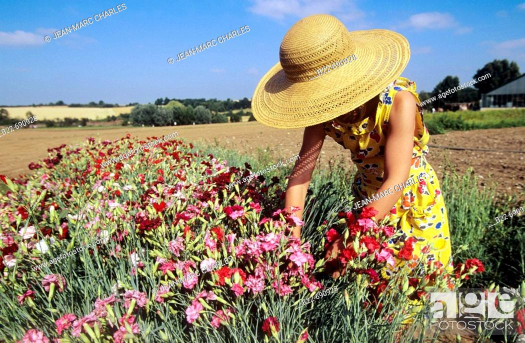 Stock Photo: The picking of carnations.