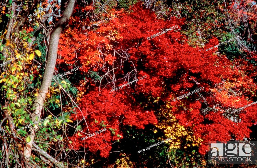 Stock Photo: Fall colour of trees in forest, India, Asia.