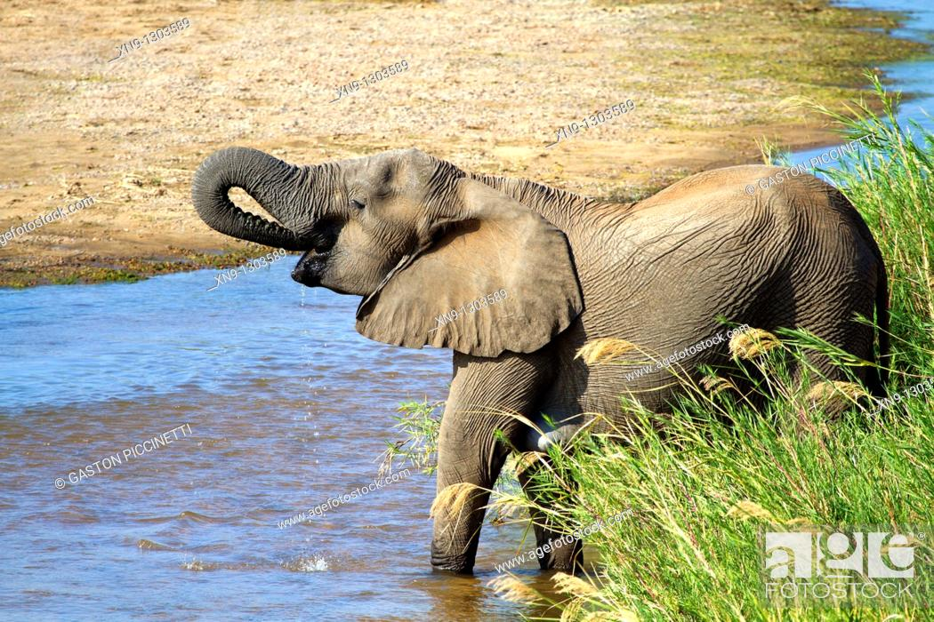 Stock Photo: African Elephant (Loxodonta africana) drinking water, Kruger National Park, South Africa.