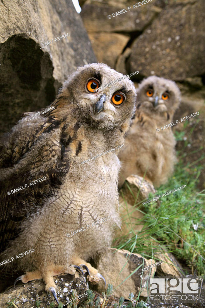 Stock Photo: Buhos Reales, Eagle owls (Bubo bubo). Young owls after leaving nest. Northern Spain.