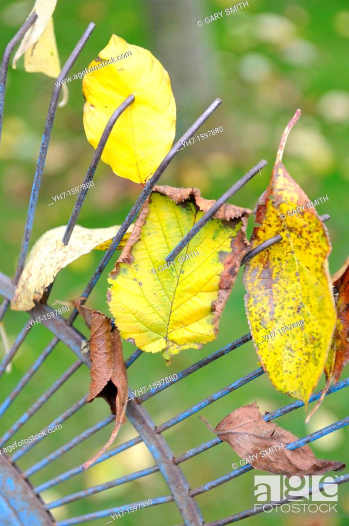 Stock Photo: Garden lawn rake with attached leaves, Norfolk, UK, November.