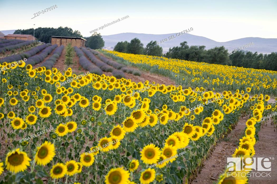 Stock Photo: Field of sunflowers and lavender El Pobo Teruel Aragon Spain.
